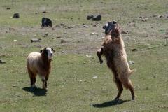 Zwei Ziegenböcke tragen einen Machtkampf zur Rangfolge in der Herde aus.