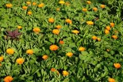 Der große Garten kann sich sehen lassen, überall grünt und blüht es. Hier die leuchtenden Ringelblumen.