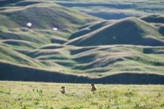 Zwei neugierige Ziesel behalten uns aus der Entfernung gut im Blick