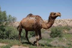 """...Kamele! Biologisch korrekt wahrscheinlich Dromedare, oder? Umgangssprachlich hier auf jeden Fall """"camel""""! :-)"""