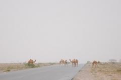 Die Kamele haben Vorrang und wir müssen vom Gas gehen.