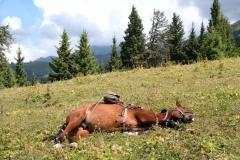 Leos Pferd nutzt die Mittagspause für ein Nickerchen