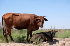 Kühe am Wegesrand