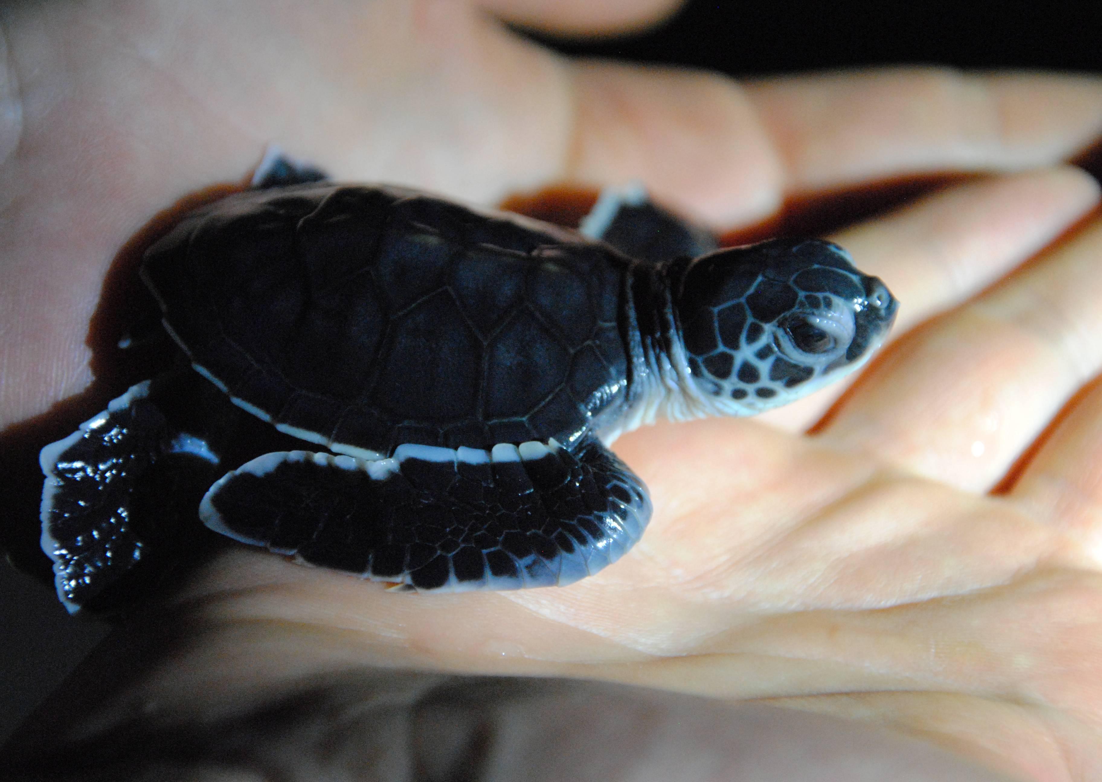 """Nachts bekommen wir tatsächlich noch Schildkröten zu sehen - hier die """"baby turtle"""", die tagsüber am Strand geschlüpft war und nachts vom Ranger ins Meer gesetzt wird"""
