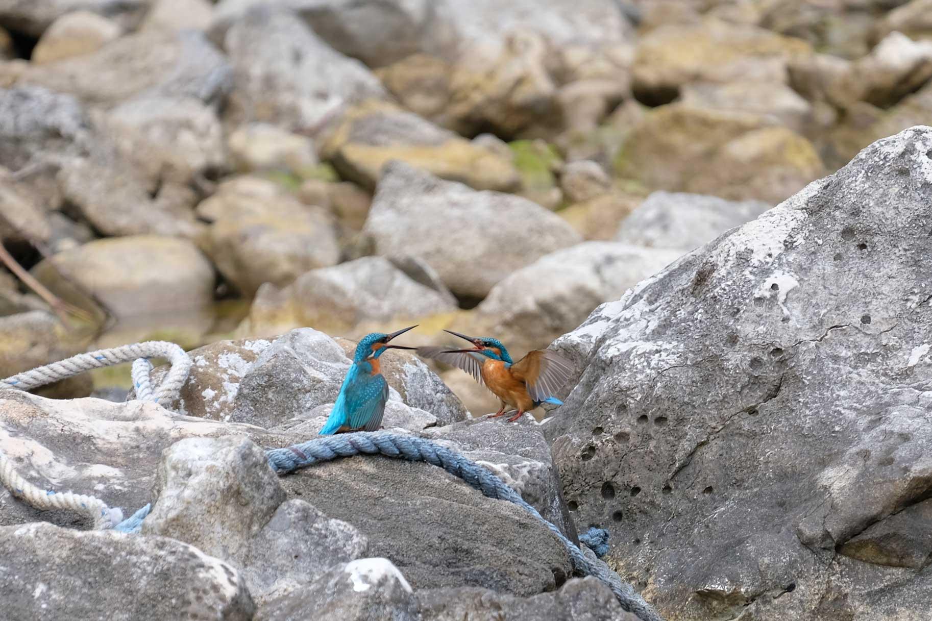 Zwei muntere Eisvögel ziehen unsere Aufmerksamkeit auf sich