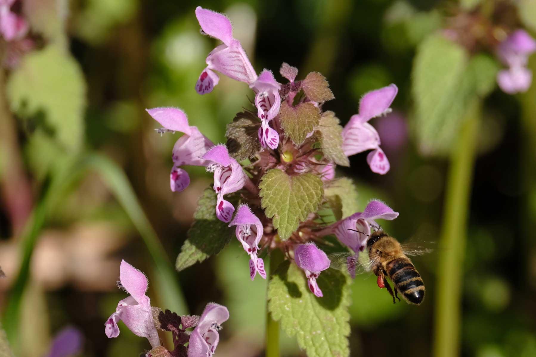 Auch die Bienen sind fleißig und suchen nach Pollen