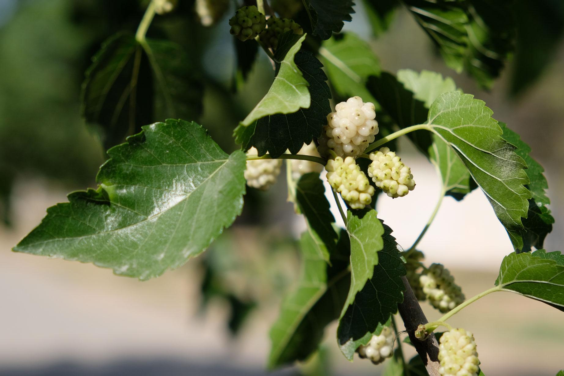 Maulbeeren. Die leckeren Beeren, die uns schon seit dem Iran treu begleiten.