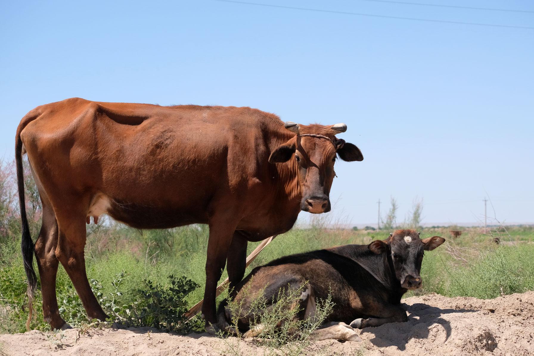 Interessierte Kühe