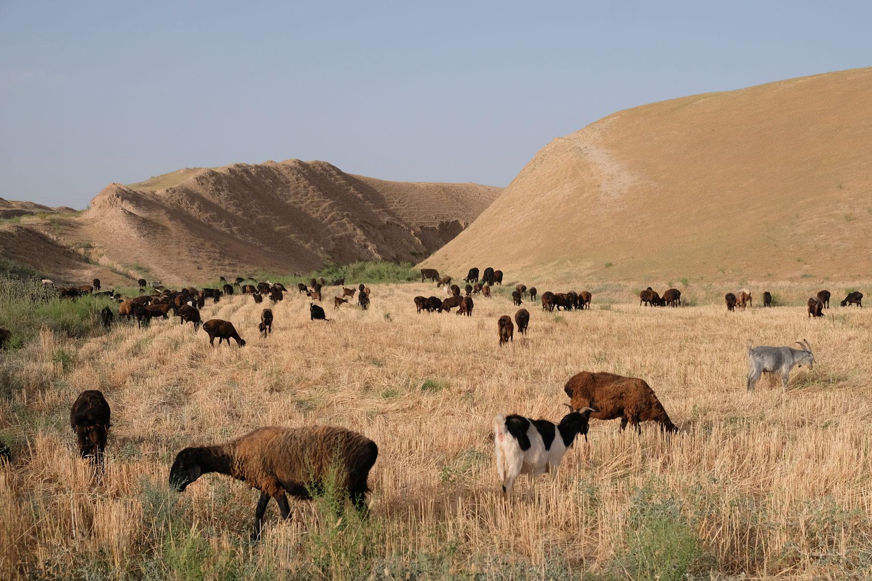 Das Nachbarfeld ist bereits abgeernet. Eine Schafherde freut sich über die liegengebliebenen Erntereste.
