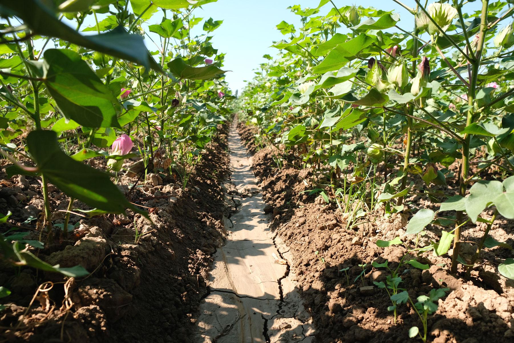 Da der Baumwollanbau sehr wasserintensiv ist, bedarf es einen ausgeklügelten Bewässerungskonzepts