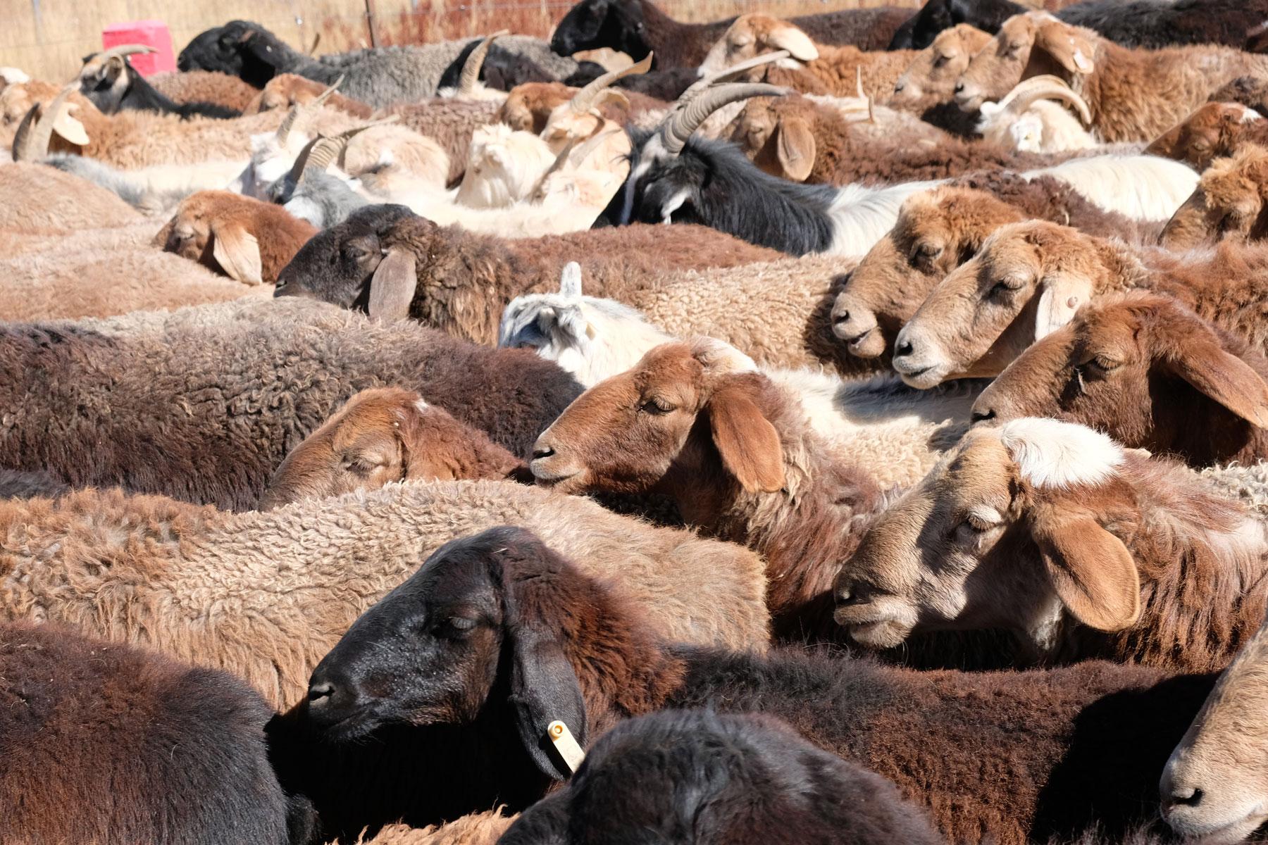 ...die uns durch viele Schaf- und Yak-Herden führt.
