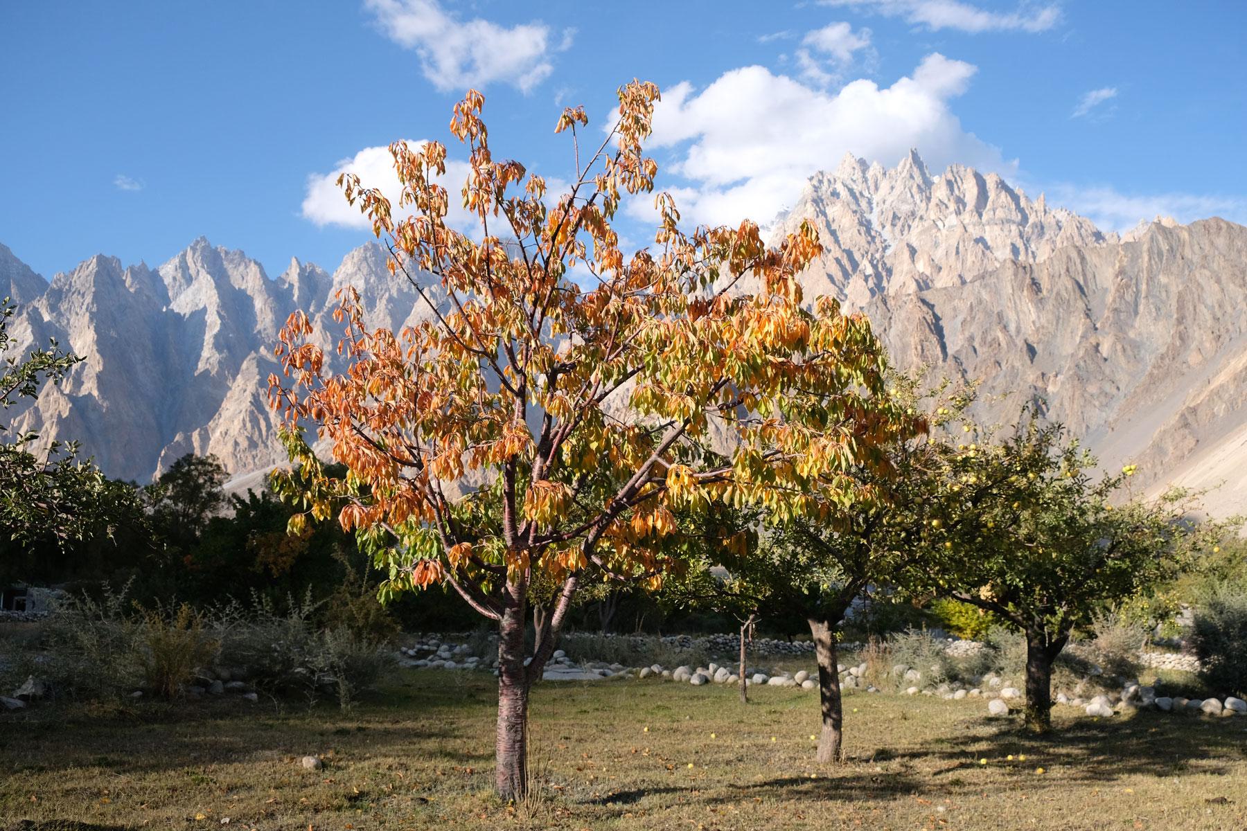 Auch die Apfelbäume tragen hier reichlich Früchte...