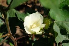 Die Blüten der Baumwolle öffnen sich nur für einen einzigen Tag