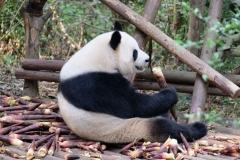 Eine Bambusstange  nach der anderen wird erst geschält und dann in flottem Tempo verdrückt. Wie viel Bambus das Breeding Center wohl vorrätig haben muss, um alle Tiere satt zu bekommen?