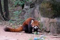 ...und auch den Red Panda, quasi den kleinen Bruder des großen Pandas, gibt es hier zu besuchen.