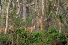 Schon gleich zu Beginn unseres Tages sehen wir große Gruppen des 'spotted deers', die uns scheu zwischen den Bäumen hindurch beobachten