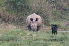 Zwei Hunde aus dem Dorf ärgern ein wildes Nashorn, welches daraufhin beginnt, die beiden Hunde zu verfolgen. Es kann ganz schön schnell rennen...