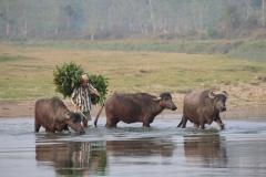 Ein Mann durchquert mit seinen Wasserbüffeln einen Fluss