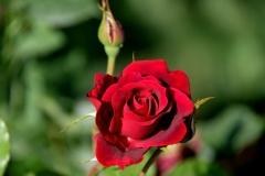 Tolle Rosen gibt es im hübschen Garten der Moschee zu sehen