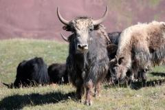 Wir biegen um eine Kurve und stehen auf einmal vor einer großen Gruppe Yaks...