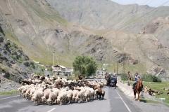 Die ein oder andere Schafherde kreuzt unseren Weg...