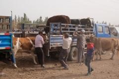 Diese Kuh ist bereits fündig geworden und wird auf einen Transporter verladen