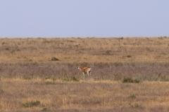 Wir haben Glück und erblicken sogar eine der seltenen Saiga-Antilopen