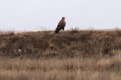 Ein Greifvogel am Wegesrand