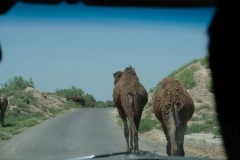Ein Highlight des Tages! Kamele...