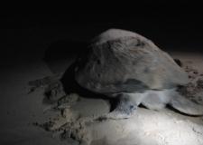 Und dann auch noch eine große Schildkröte, die nach der Eiablage zurück auf dem Weg ins Meer ist