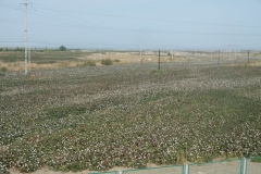 Endlich! Schon lange habe ich drauf gewartet, nun endlich sehe ich aus dem Zugfenster die nicht enden wollenden Baumwollfelder