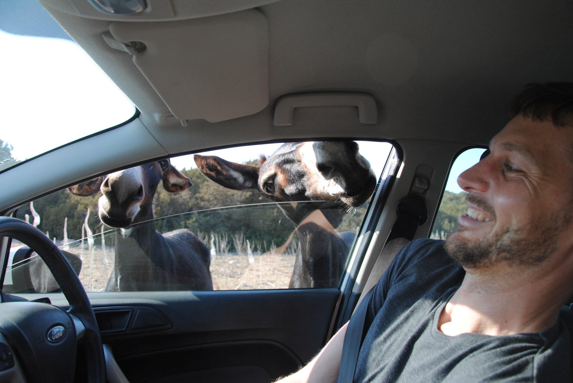Ein Esel streckt seinen Kopf durch ein Autofenster