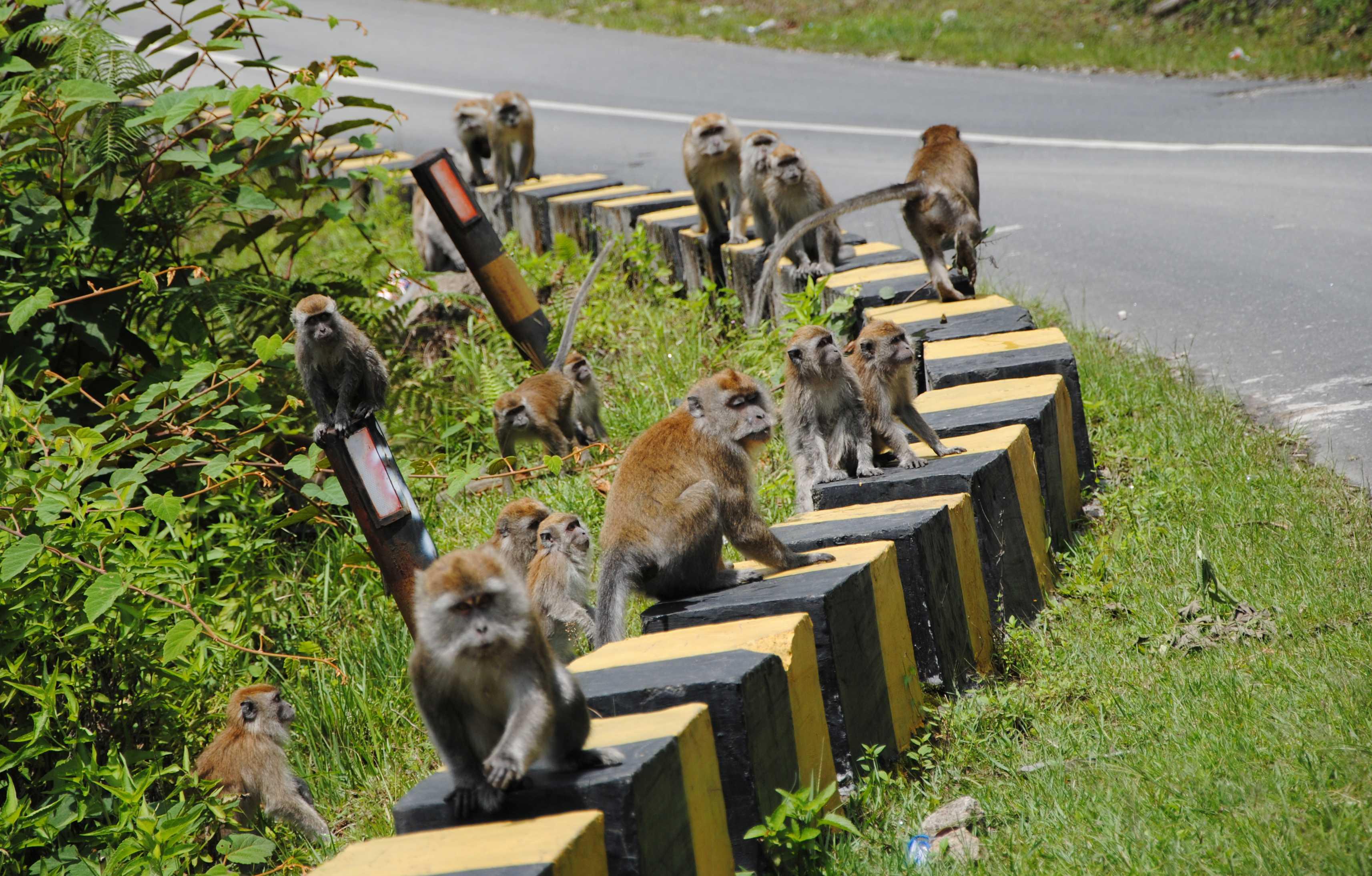 Affen am Straßenrand