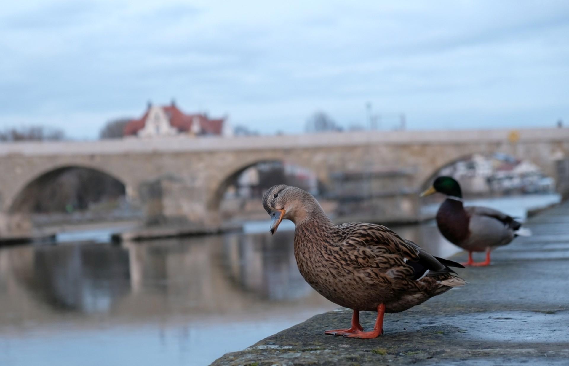 Zwei Enten am Donauufer