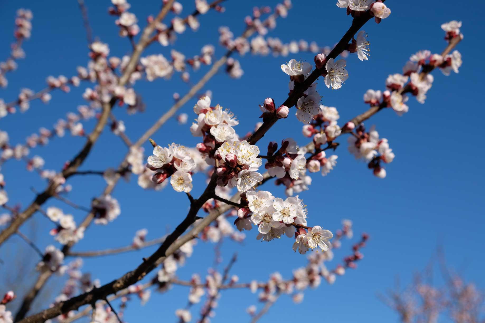 Zweige mit weißen Blüten