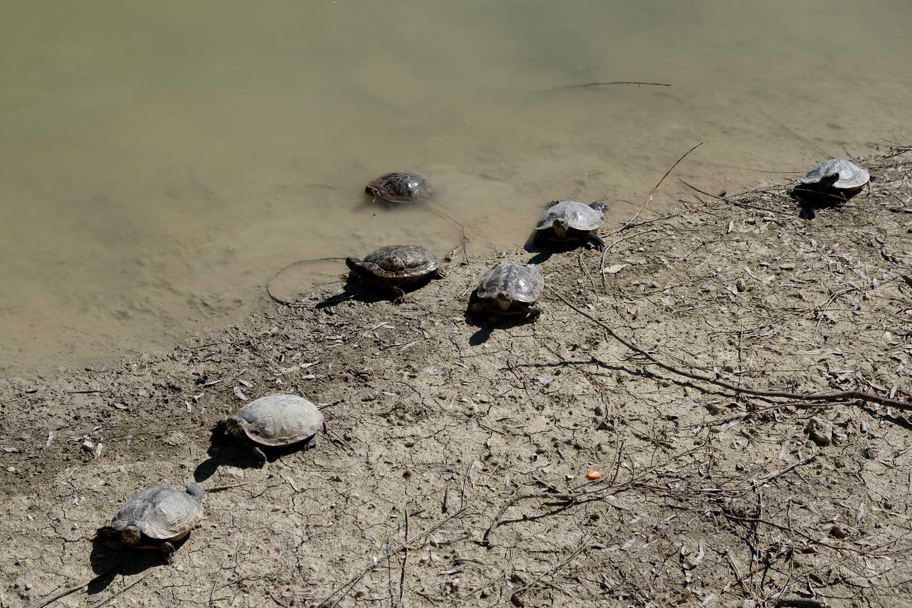 Schildkröten am Ufer eines Sees