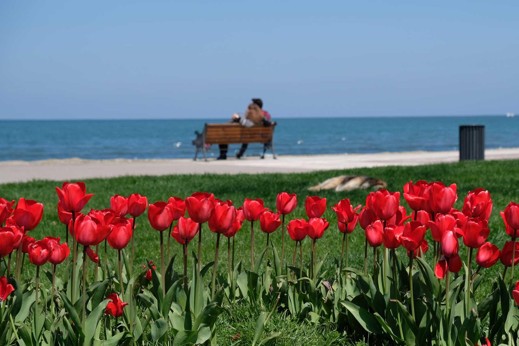 Rote Tulpen auf einer Wiese, im Hintergund eine Bank vor dem Meer