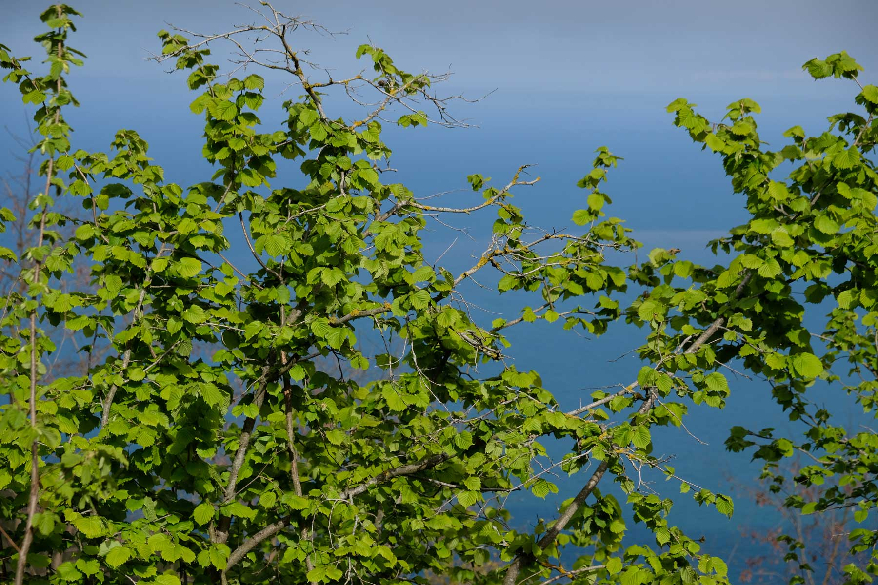 Der gesamte Berg ist mit Haselnussbäumen bepflanzt