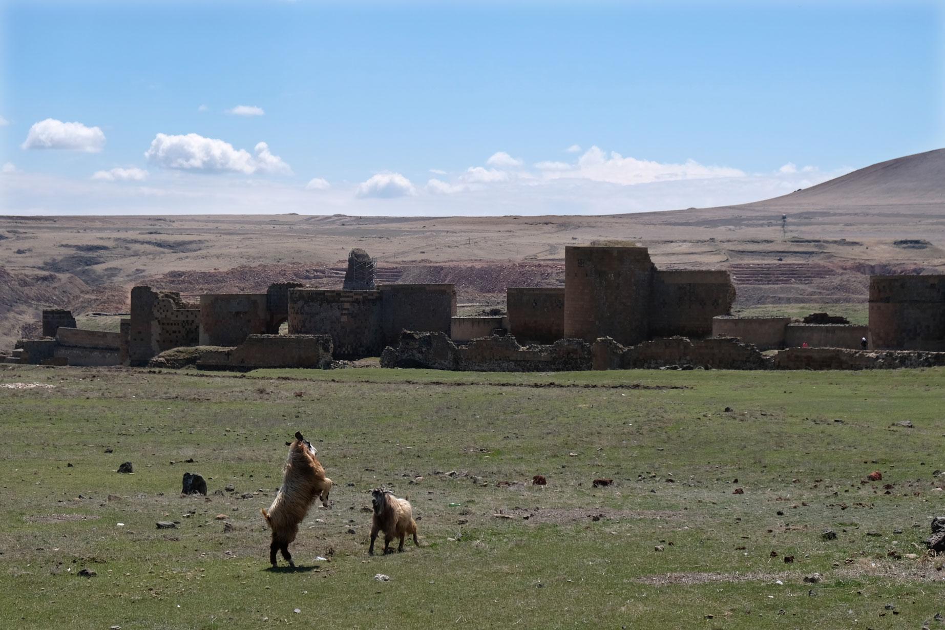 Ziegen kämpfen vor der Stadtmauer Anis