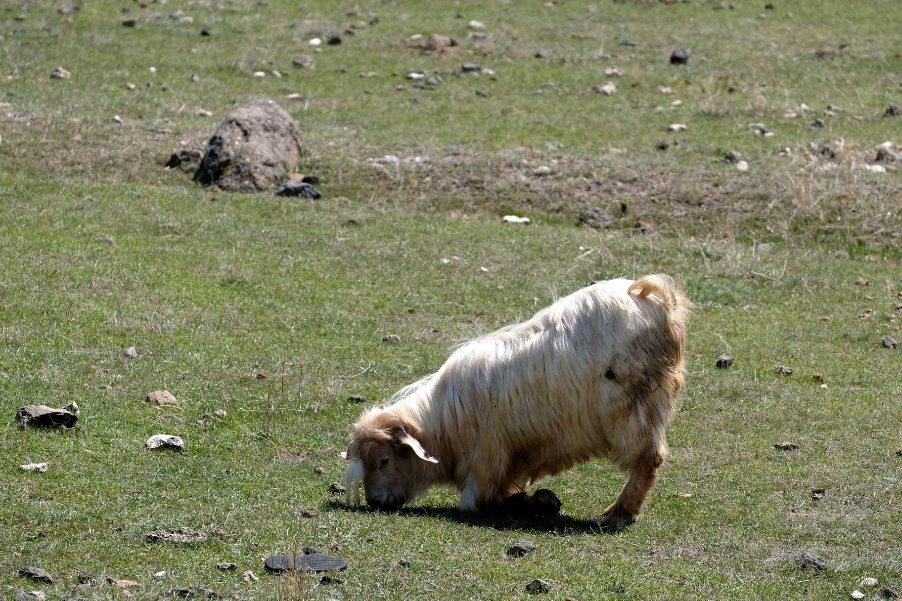 Eine Ziege kniet auf den Vorderbeinen und frisst Gras