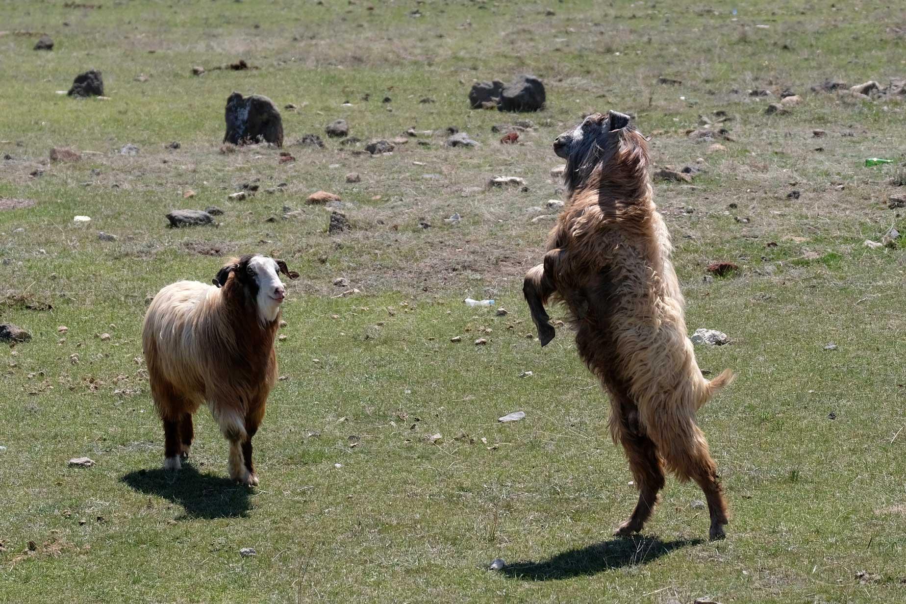 Ein Ziegenkampf in der Nahaufnahme