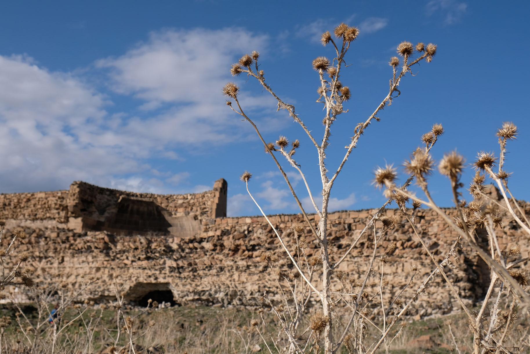 Disteln vor blauem Himmel und der Ruine der ehemaligen Stadtmauer