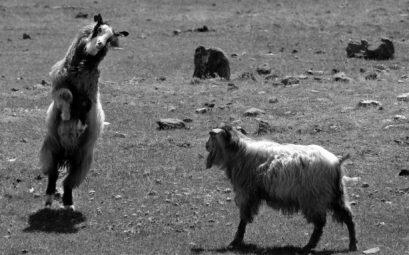 Zwei Ziegen kämpfen miteinander