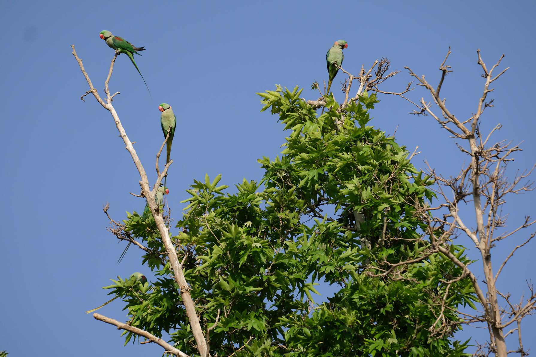 Drei grüne Papageien auf einem Baum