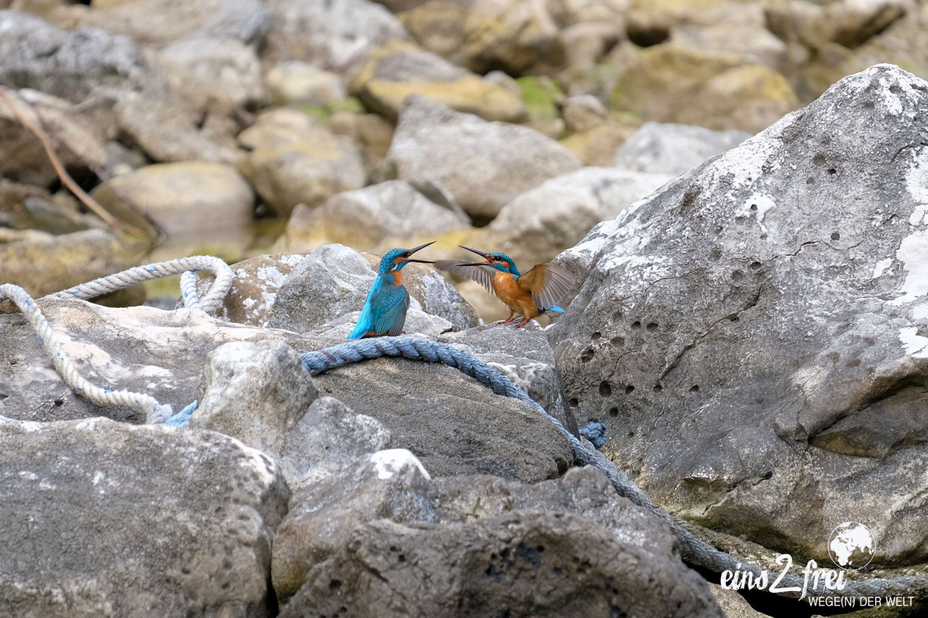Zwei Eisvögel auf einem Stein