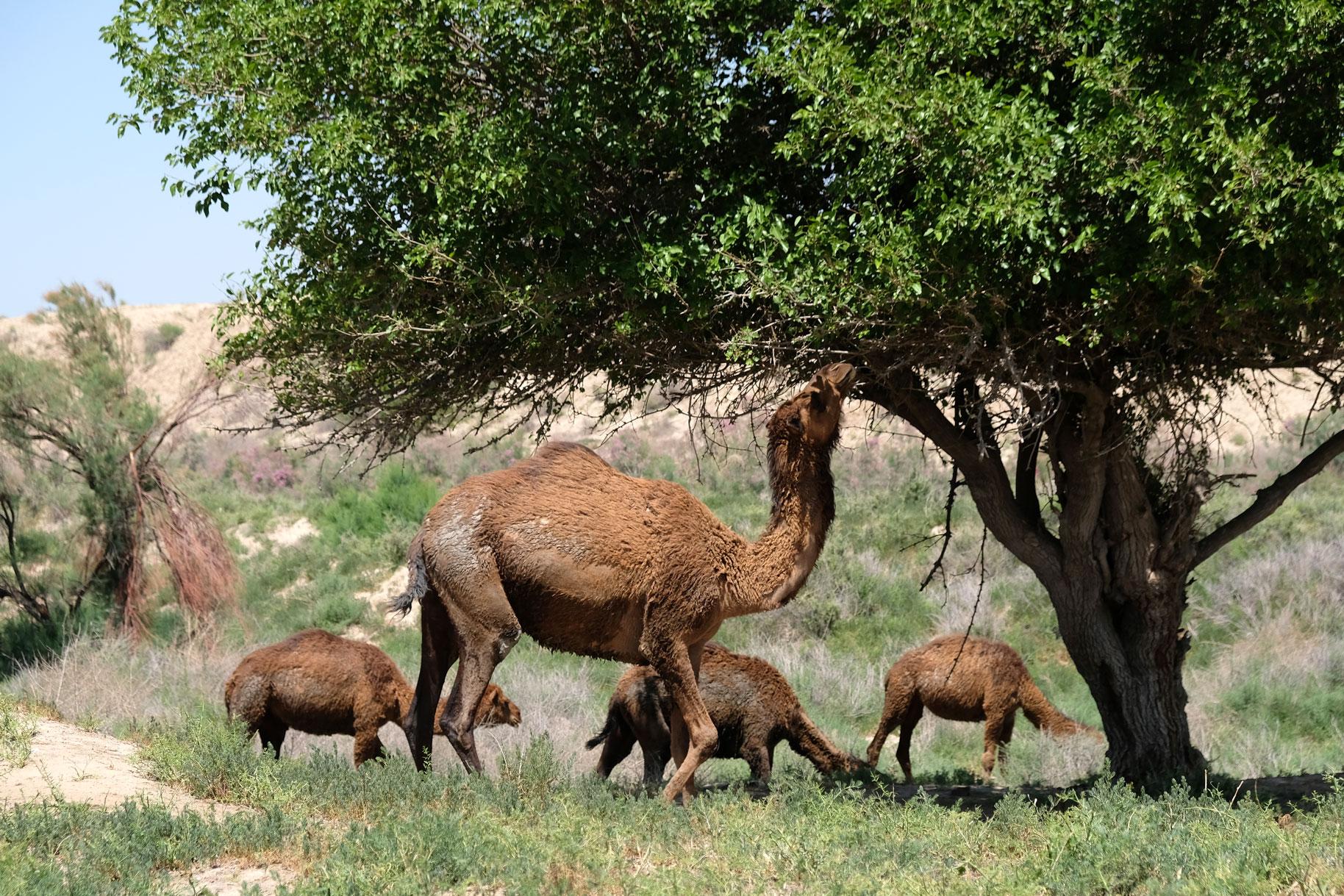 Kamele fressen Gras und Blätter von einem Baum