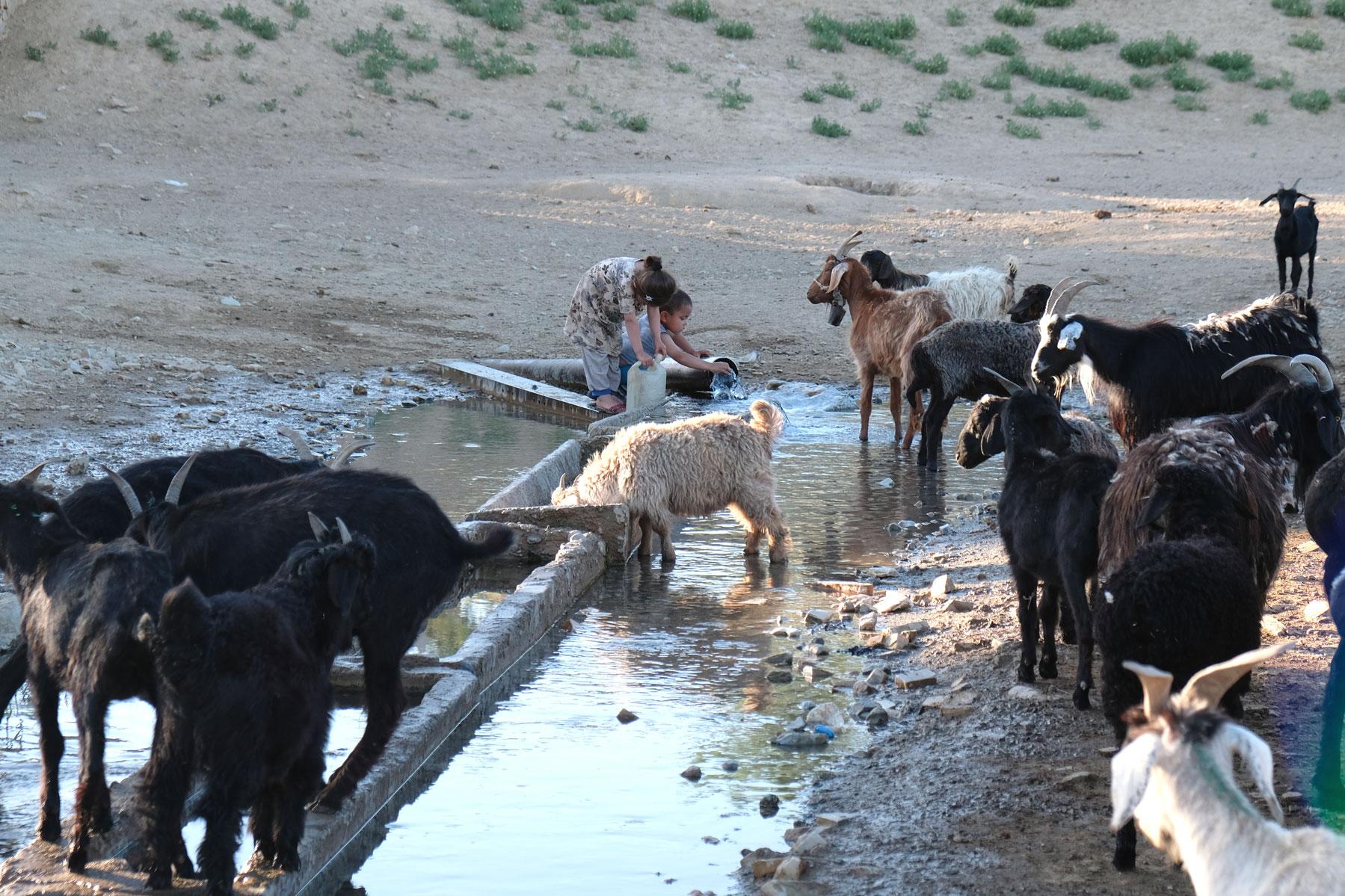 Ziegen an einer Wasserstelle