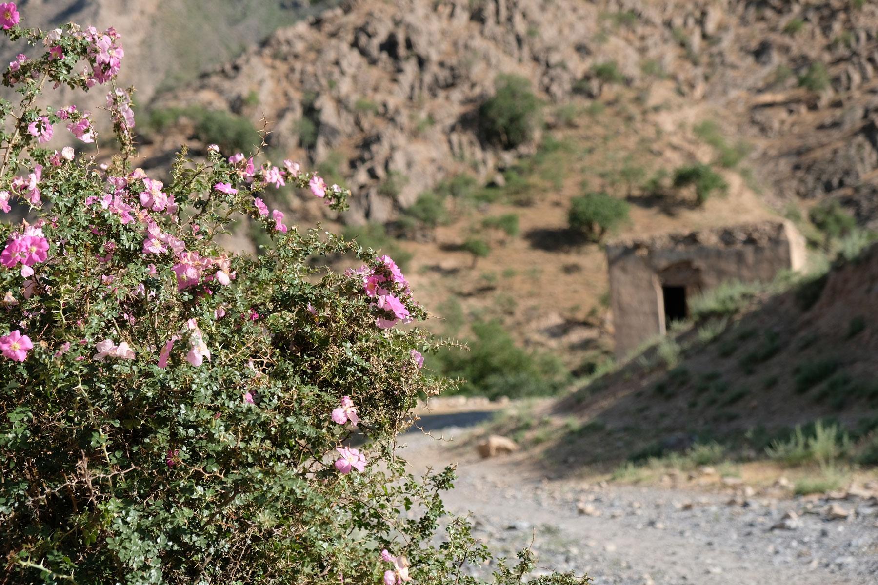 Blühender Dornenbusch neben einer Schotterstraße
