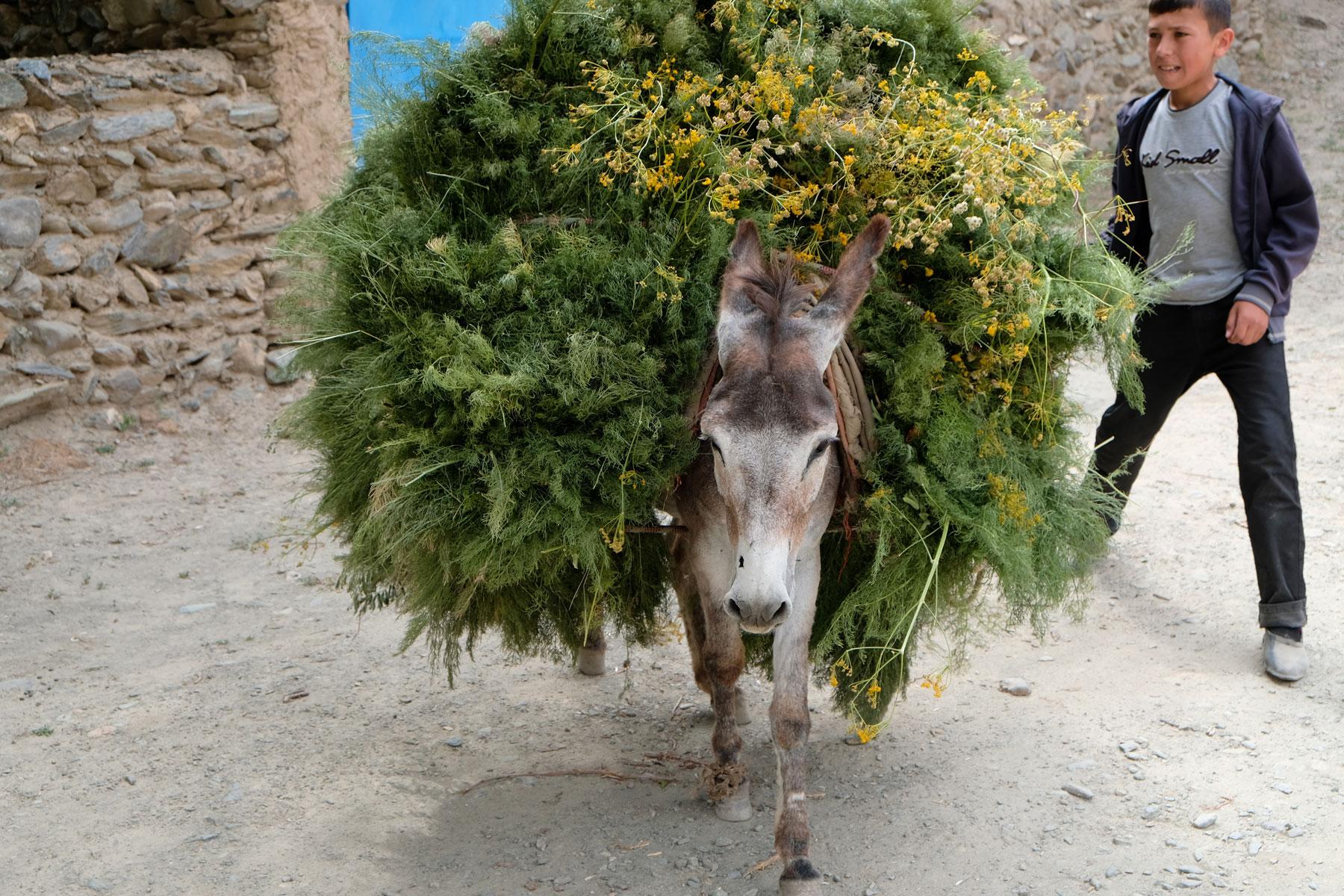 Ein mit Pflanzenteilen beladener Esel