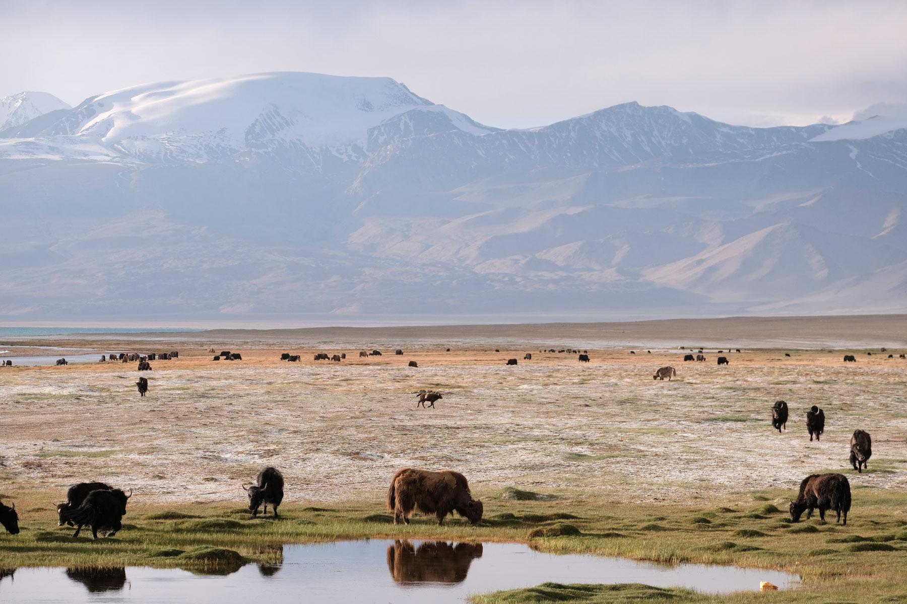 Eine grasende Yakherde im Pamirgebirge.